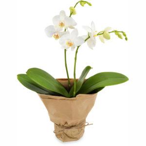 Hvit orkidé fra nettblomst.no