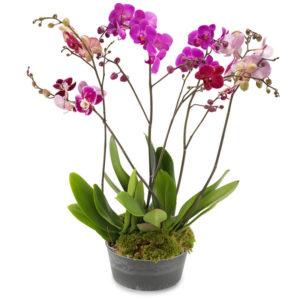 Majestetisk Eleganse Orkidé fra nettblomst.no