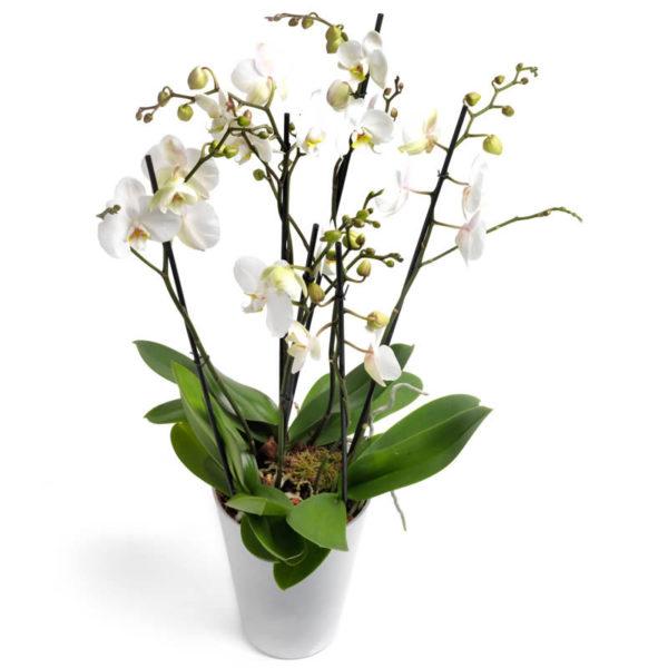 Hvit Phalaenopsis Orkidé fra nettblomst.no