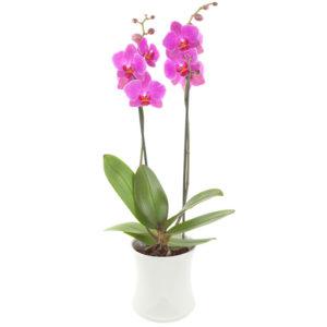 Rosa orkidé i potte fra nettblomst.no