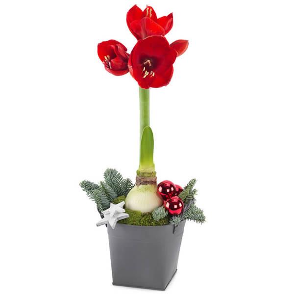 Rød amaryllis planet i en grå potte og pyntet med granbar, julekule, og stjerner